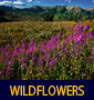 thumbnail of Fireweed at Crested Butte linking to Wildflower Photo Gallery